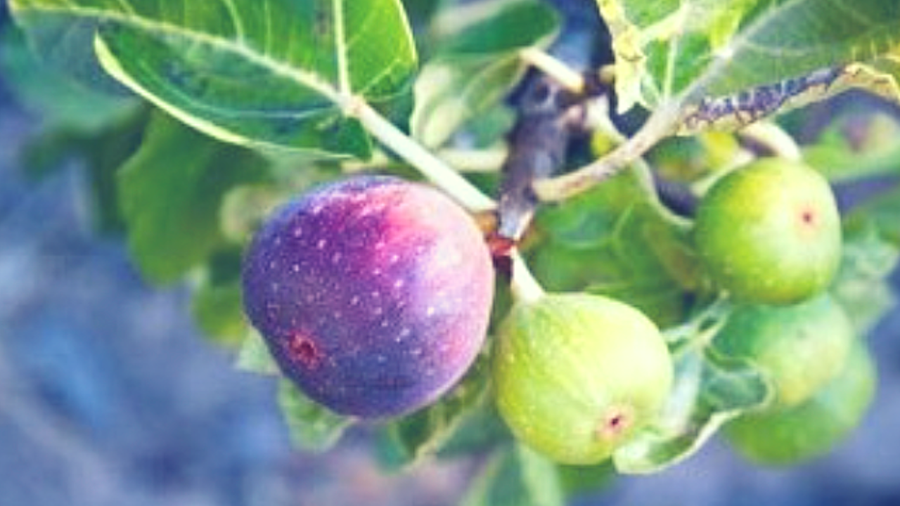 Figs on a fig tree at Shine Springs Farm - Colbert County Alabama - Photo by Sheree Martin